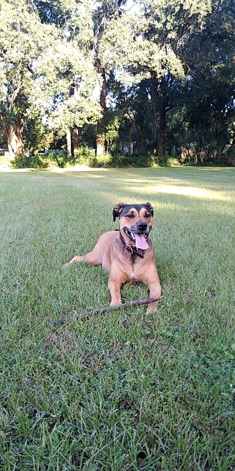 Photo of Franco, an American Pit Bull Terrier and Rottweiler mix in Lakeland, Florida, USA