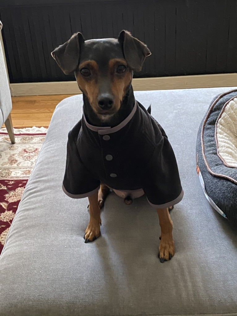 Photo of Alfie, a Miniature Pinscher, Rat Terrier, Chihuahua, and Beagle mix