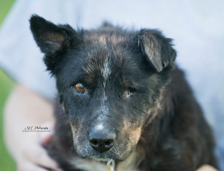 Photo of Leonard a.k.a Lenny (Rescue Rovers Novak), an Australian Cattle Dog, American Pit Bull Terrier, Chow Chow, and German Shepherd Dog mix in New Mexico, USA
