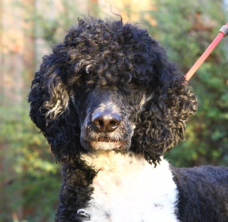 Photo of Nino, a Poodle (Standard)  in Koningsbosch, Limburg, Nederland