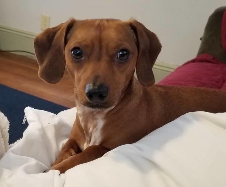 Photo of Scooby, a Dachshund, Chihuahua, Pekingese, and Pomeranian mix in Springfield, Massachusetts, USA