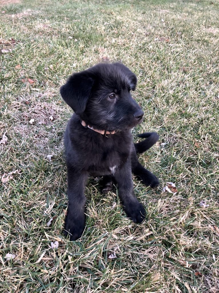 Photo of Hank, a German Shepherd Dog, Great Pyrenees, and Chinese Shar-Pei mix in Kentucky, USA