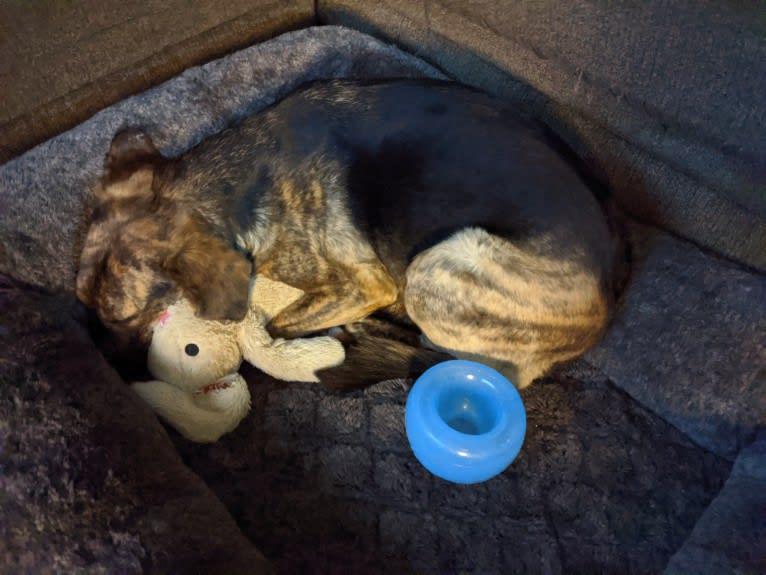 Photo of Lucille, an American Staffordshire Terrier, Labrador Retriever, Weimaraner, Golden Retriever, and Beagle mix