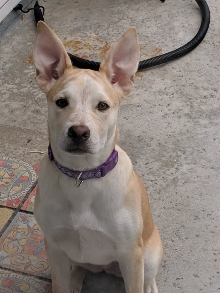 Photo of Sadie, an American Pit Bull Terrier, German Shepherd Dog, Chow Chow, and American Staffordshire Terrier mix in Yorba Linda, California, USA