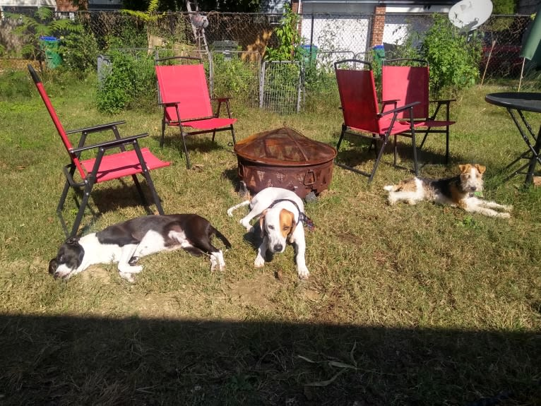 Photo of Ronan, an American Pit Bull Terrier, Treeing Walker Coonhound, and American Staffordshire Terrier mix in Virginia, USA