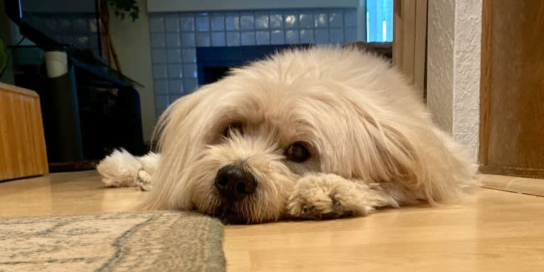 Photo of Kimo, a Lhasa Apso, Chow Chow, and American Pit Bull Terrier mix in San Diego, California, USA