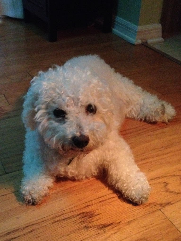 Photo of Harry, a Bichon Frise  in Orlando, Florida, USA