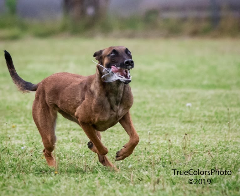 Photo of 'Zilla, a Dutch Shepherd