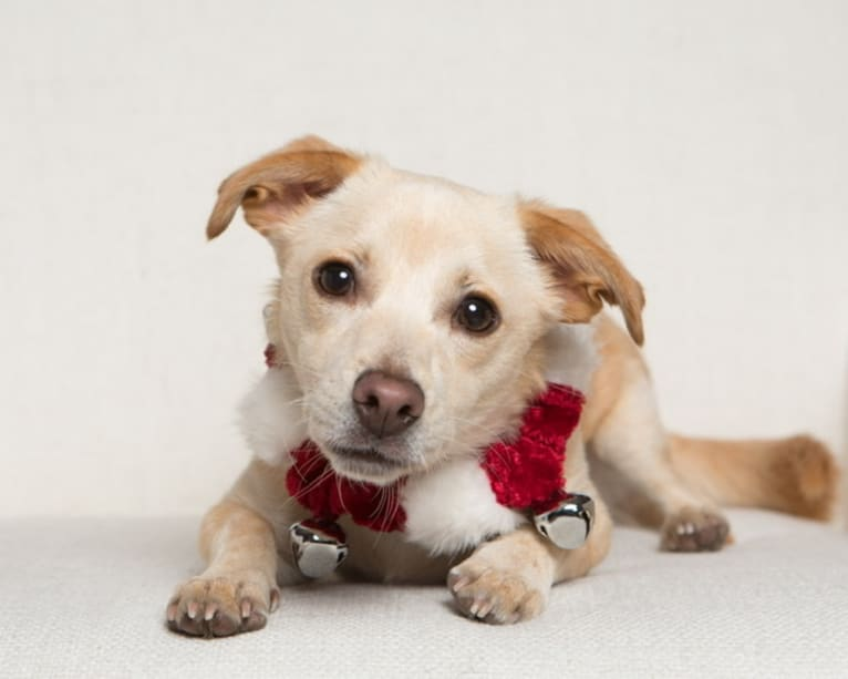 Photo of Buster AKA Busty, a Chihuahua, Russell-type Terrier, Poodle (Small), and Mixed mix in Merced, California, USA