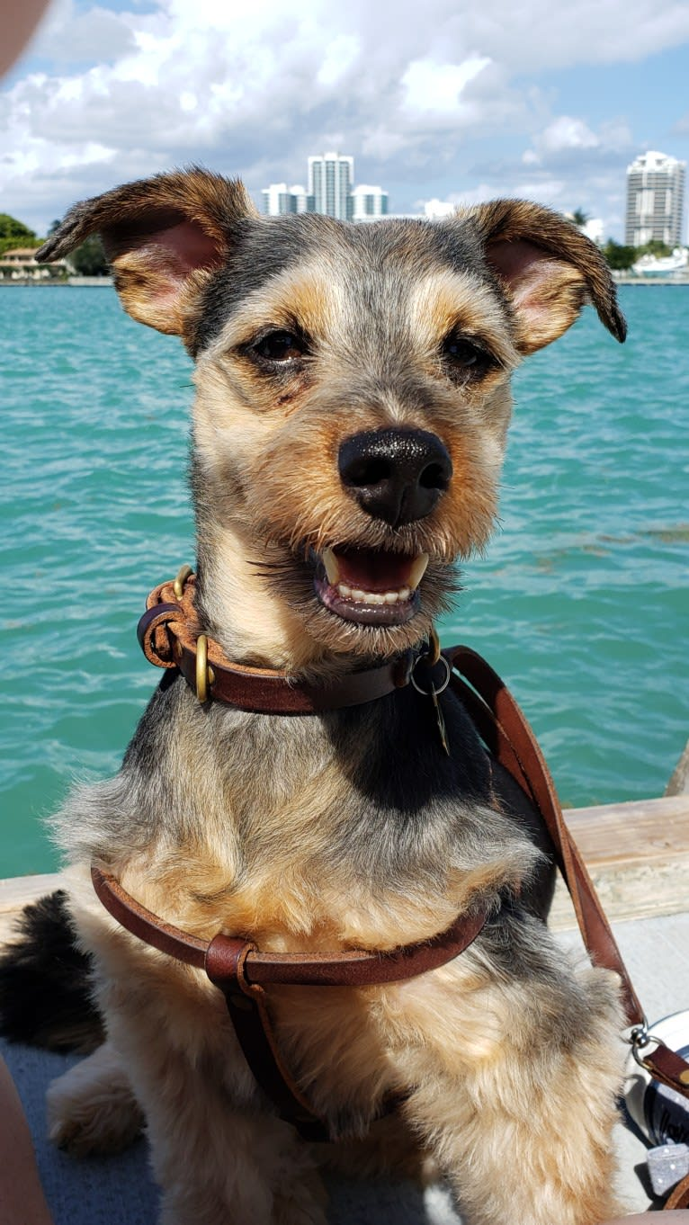 Photo of Picasso Dali Jauregui, a Yorkshire Terrier, Dachshund, Chihuahua, and Pembroke Welsh Corgi mix
