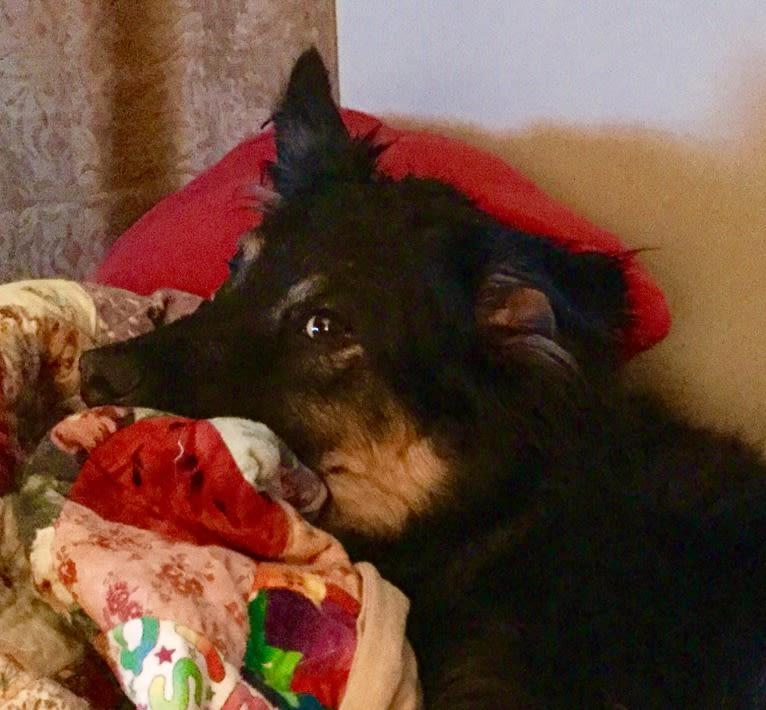 Photo of Ollie, a Chow Chow, Australian Cattle Dog, German Shepherd Dog, Rat Terrier, and Golden Retriever mix in Huntsville, Alabama, USA