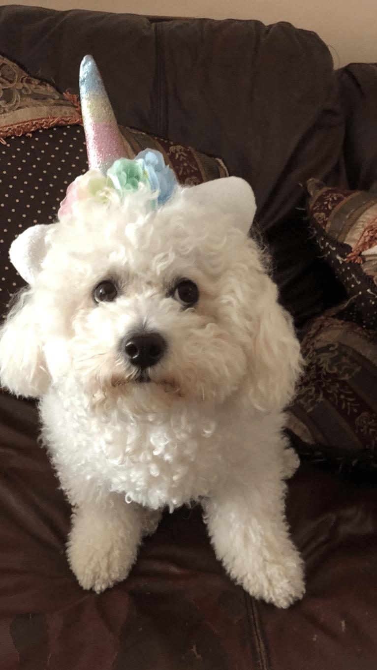Photo of Luna, a Bichon Frise
