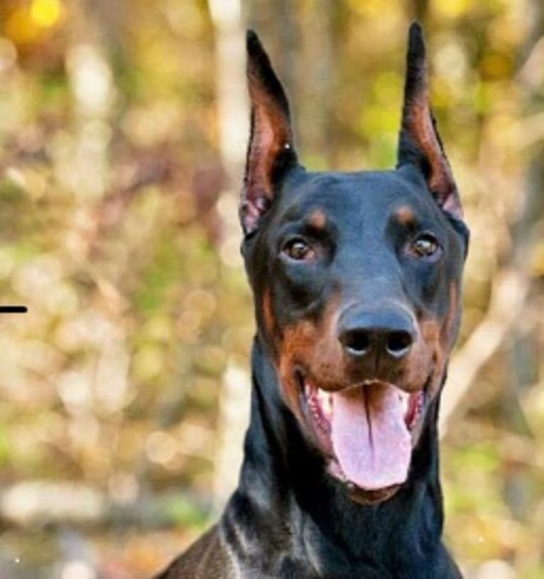 Photo of Chaser, a Doberman Pinscher  in California, USA