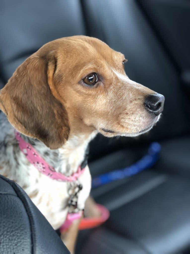 Photo of Lexie, a Beagle  in Jesup, Georgia, USA