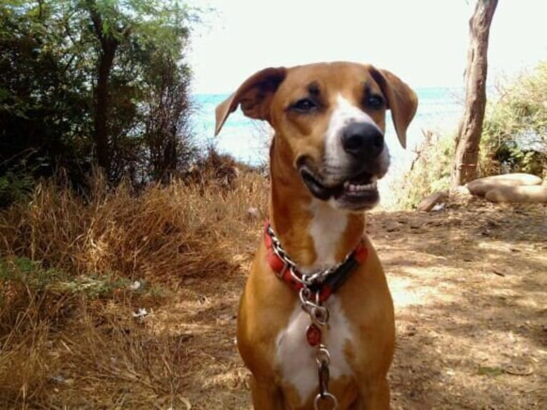 Photo of Sucre, an American Pit Bull Terrier, Australian Cattle Dog, Golden Retriever, and Mixed mix in Hawaii, USA