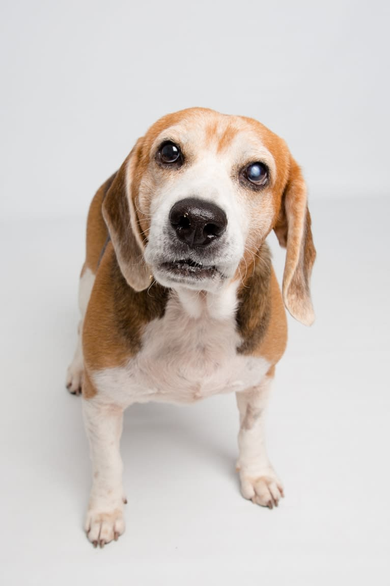 Photo of Larry, a Beagle  in New Orleans, Louisiana, USA
