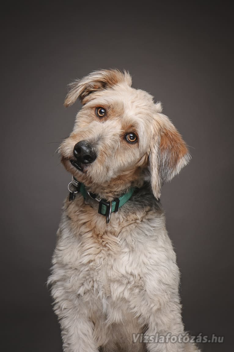 Photo of Pufi, a German Shepherd Dog, Puli, Russell-type Terrier, Dachshund, and Mixed mix