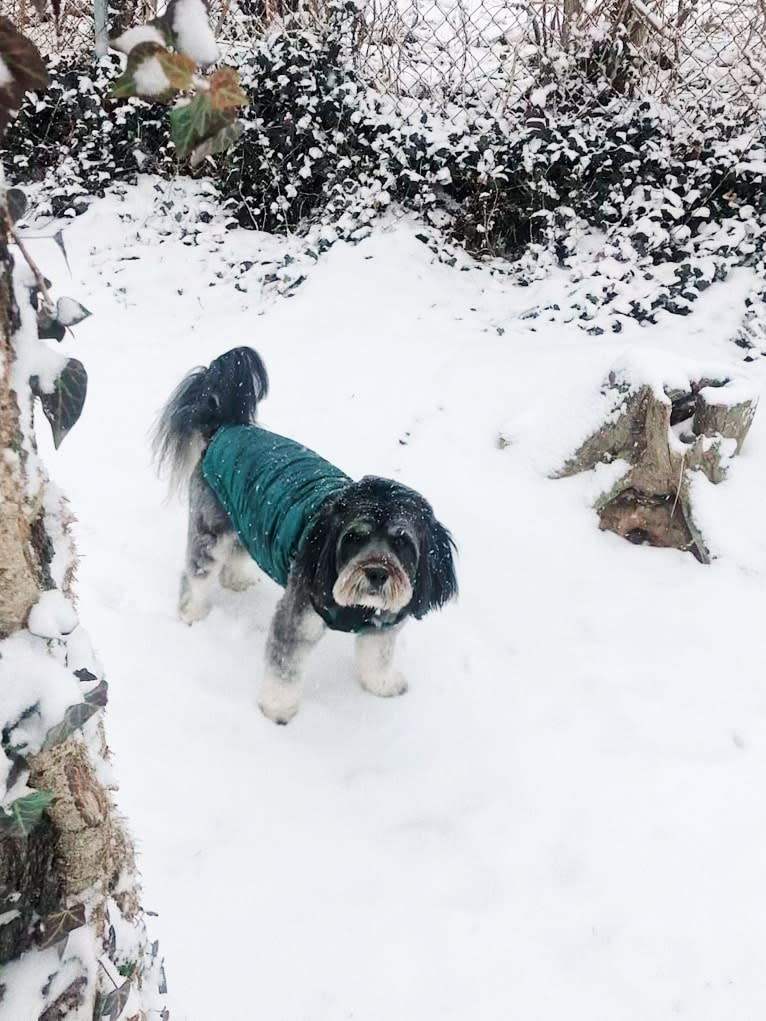Photo of Abey, a Lhasa Apso, Cocker Spaniel, Chow Chow, and Mixed mix in Silver Spring, Maryland, USA