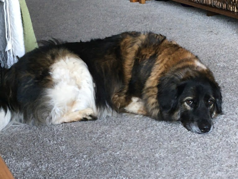 Photo of Chloe, a Labrador Retriever, German Shepherd Dog, American Eskimo Dog, and Golden Retriever mix in Los Angeles, California, USA
