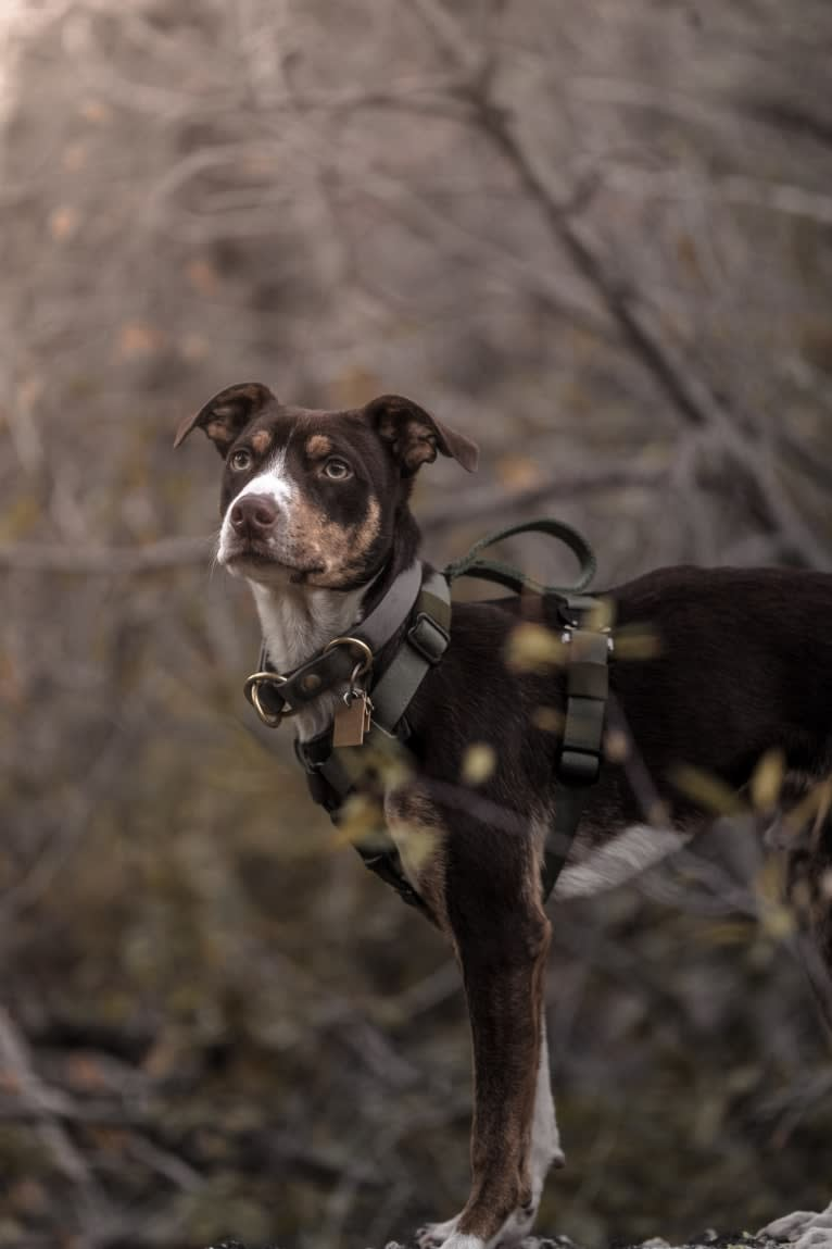 Photo of Kweli, an American Pit Bull Terrier, Chihuahua, Labrador Retriever, and Mixed mix in San Jose, California, USA