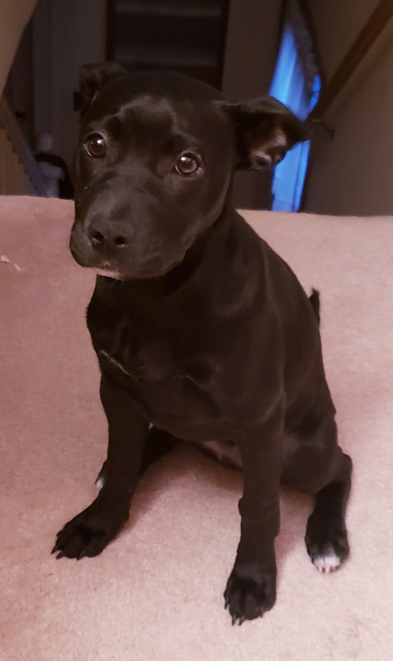Photo of Sophie, an American Pit Bull Terrier, Chihuahua, Shih Tzu, and Mixed mix in Jonesboro, AR, USA