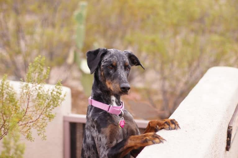 Photo of Cricket, a Doberman Pinscher, Rottweiler, and Mixed mix in Phoenix, Arizona, USA