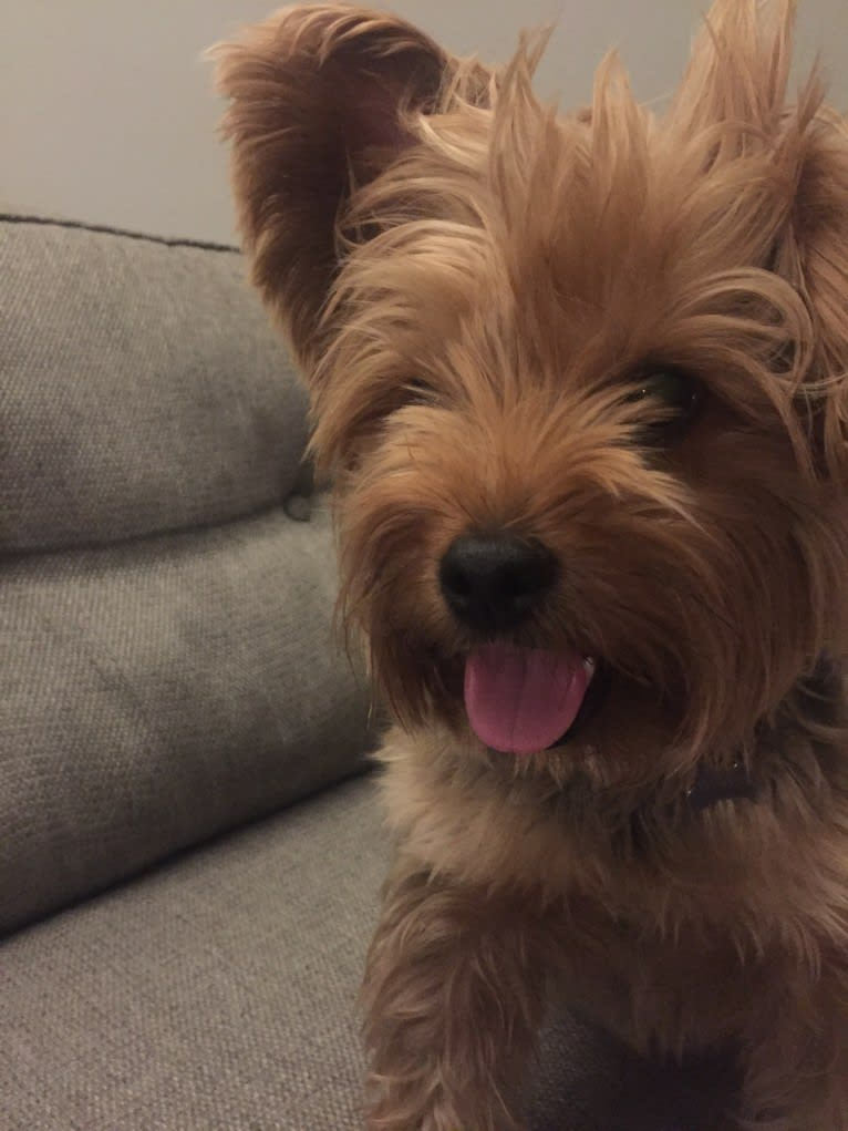 Photo of Winston, a Yorkshire Terrier  in New York, New York, USA
