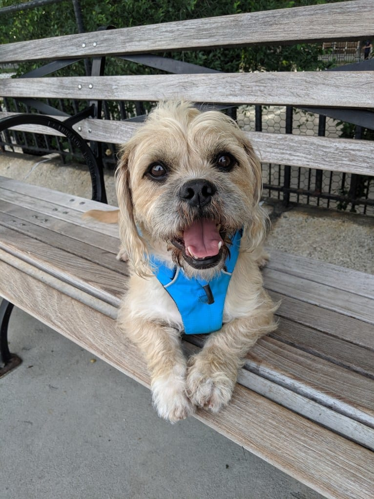 Photo of Mandoo, a Shih Tzu, American Pit Bull Terrier, Cocker Spaniel, and Boxer mix in New York, New York, USA
