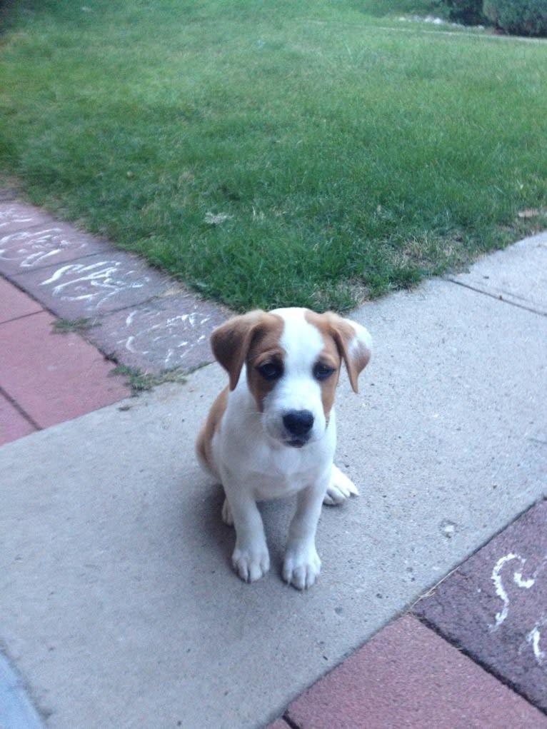 Photo of Abby, an American Pit Bull Terrier, Siberian Husky, Chow Chow, Australian Cattle Dog, and German Shepherd Dog mix in Utah, USA