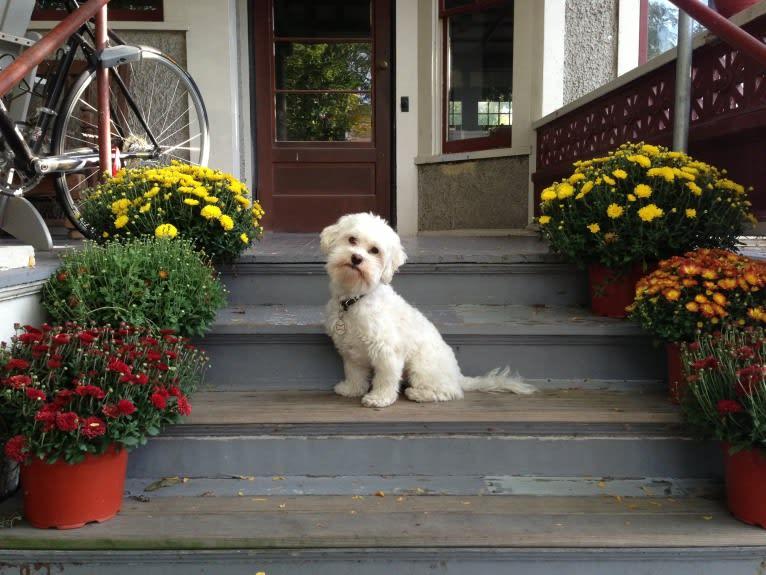 Photo of Gilly, a Havanese  in Kirkland, Washington, USA