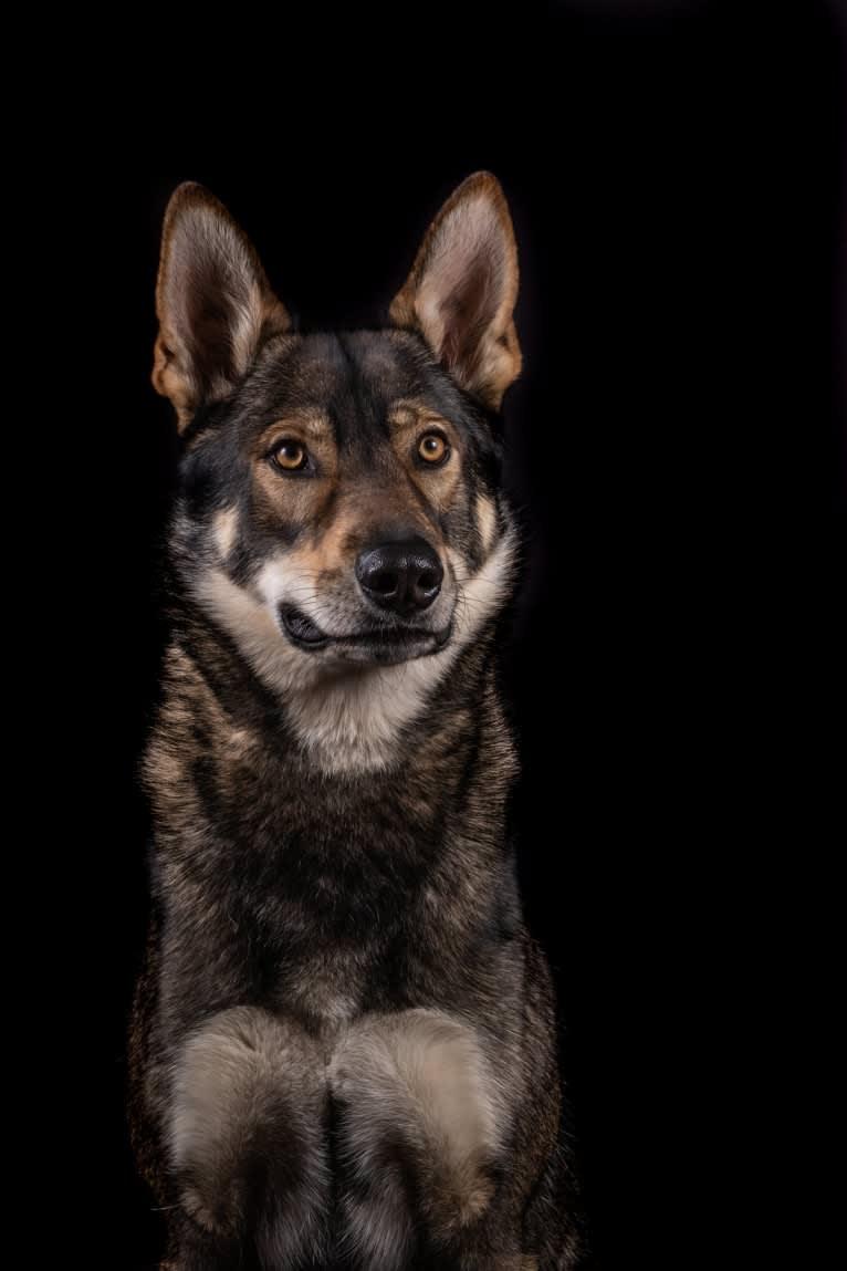 Photo of Jorah, a Siberian Husky, German Shepherd Dog, Saarloos Wolfdog, Alaskan Malamute, and Czechoslovakian Vlcak mix in Deutschland