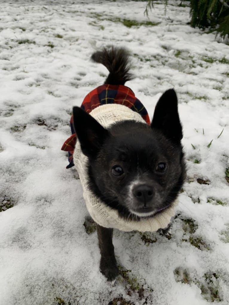 Photo of Indy, a Pomeranian, Shih Tzu, Boston Terrier, and Mixed mix in Mt Vernon, Washington, USA