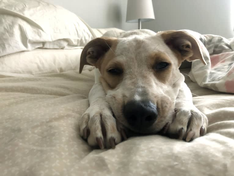 Photo of Lennon, an American Pit Bull Terrier and Mixed mix in Eden Prairie, Minnesota, USA
