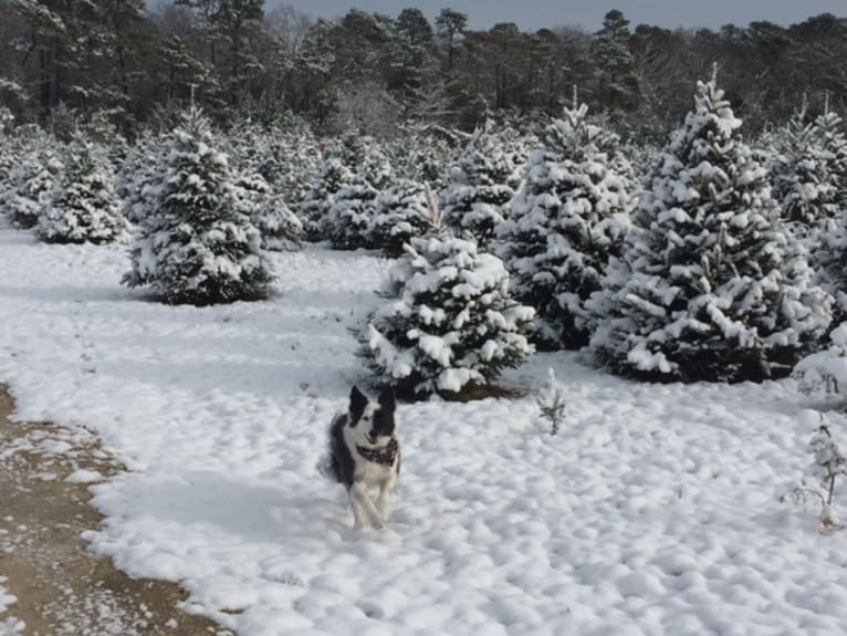 Photo of Spruce, a Border Collie (17.6% unresolved) in Plumsted Township, New Jersey, USA