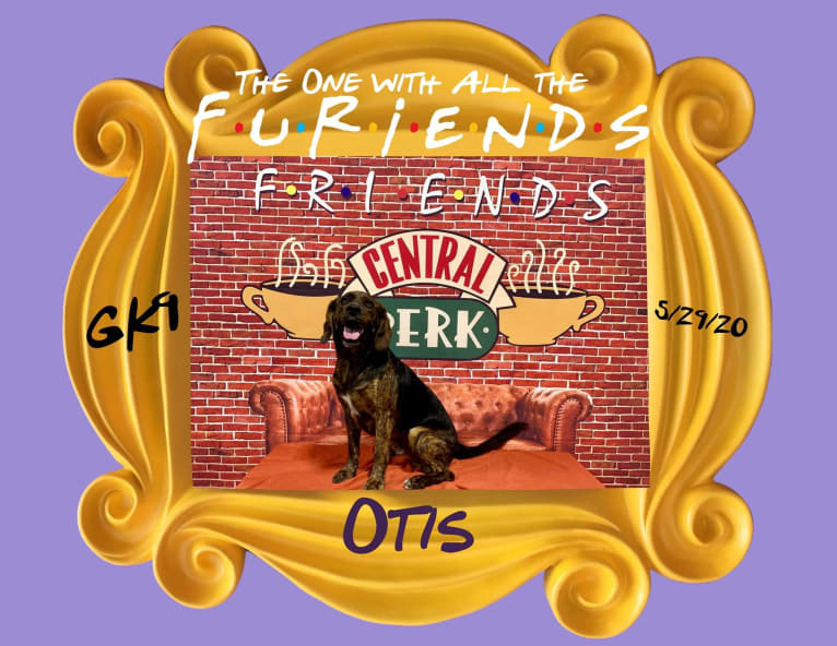 Photo of Otis, a Beagle and Golden Retriever mix in Greensburg, Indiana, USA