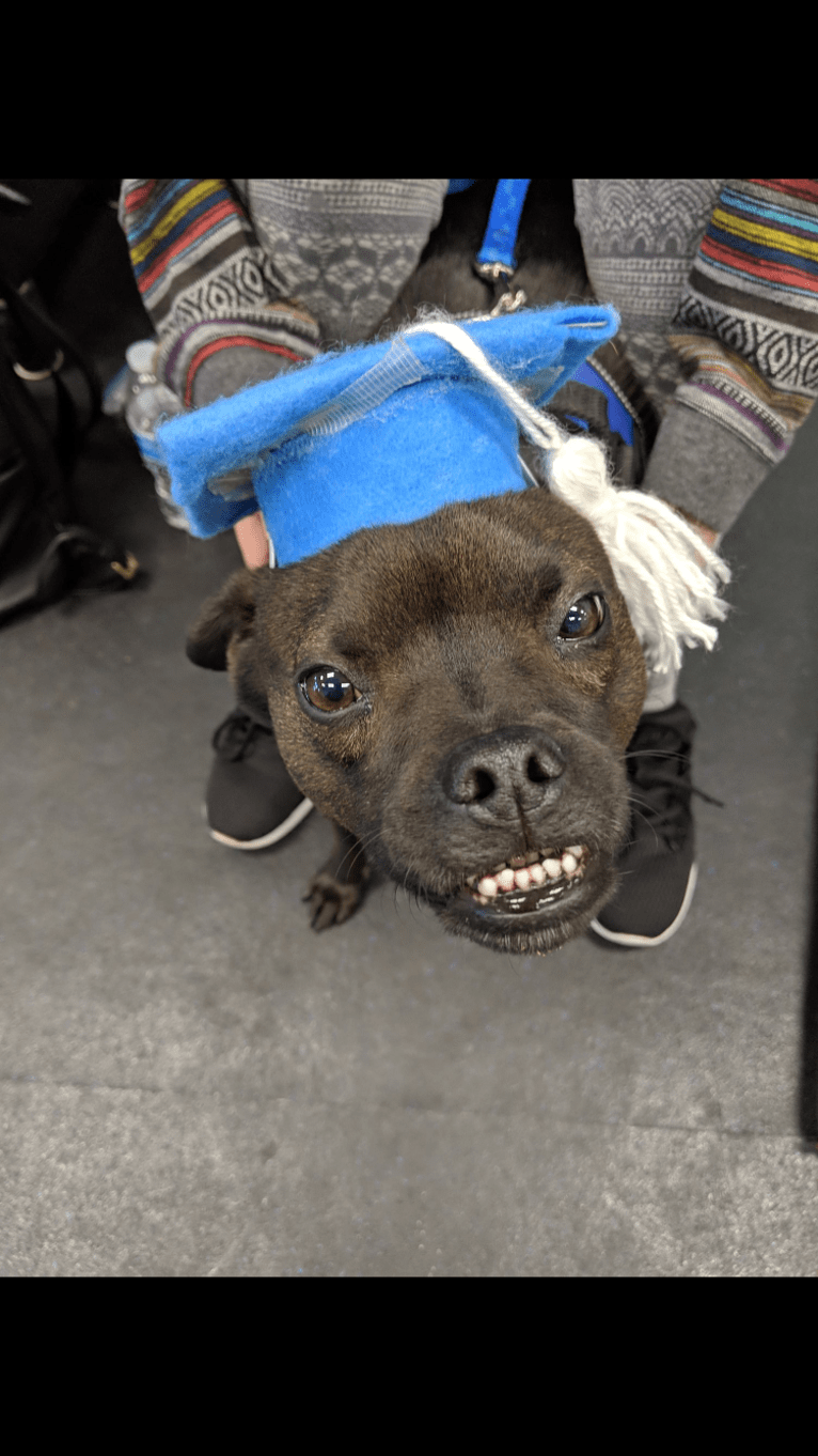 Photo of Kona, a Chow Chow, American Pit Bull Terrier, Chihuahua, German Shepherd Dog, and Mixed mix in Phoenix, Arizona, USA