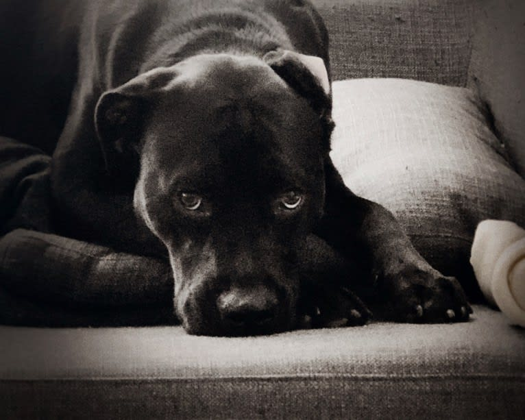 """Photo of December (""""Dece""""), an American Pit Bull Terrier, Rottweiler, American Staffordshire Terrier, and Dogue de Bordeaux mix in Chapel Hill, North Carolina, USA"""