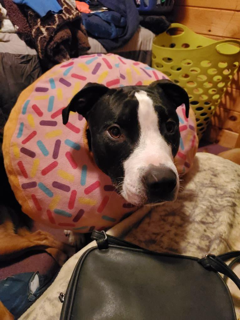 Photo of Donut, an American Bully  in Huntington, Massachusetts, USA