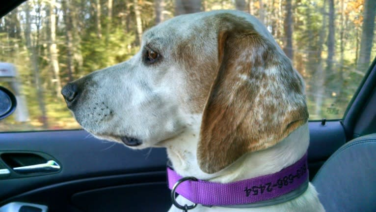 Photo of Ginny, a Pointer  in Virginia, USA