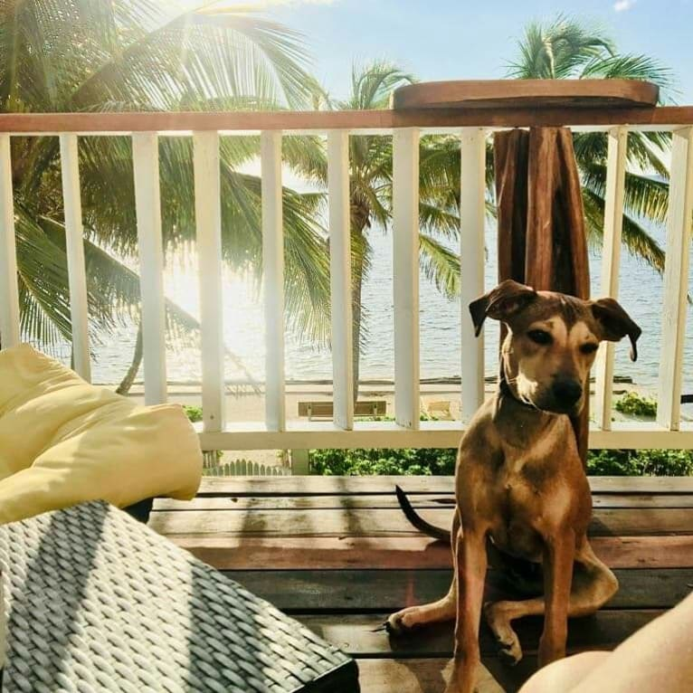 Photo of Oyster, an American Pit Bull Terrier, Rottweiler, German Shepherd Dog, and Mixed mix in Belmopan, Cayo District, Belize
