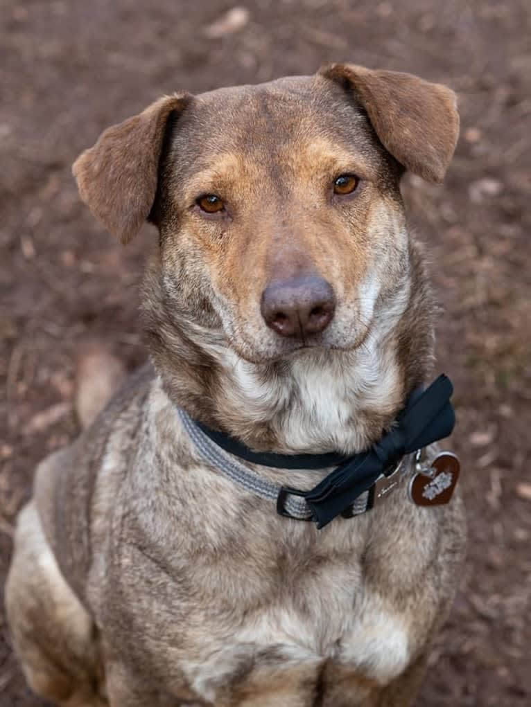 Photo of Levi, a German Shepherd Dog, Chow Chow, American Pit Bull Terrier, and Labrador Retriever mix in Georgetown, South Carolina, USA