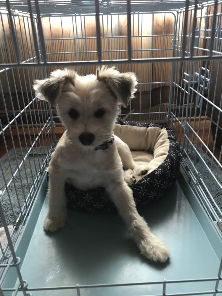 Photo of Louis, a Pomeranian, Yorkshire Terrier, and Miniature Schnauzer mix in Grand Blanc, Michigan, USA