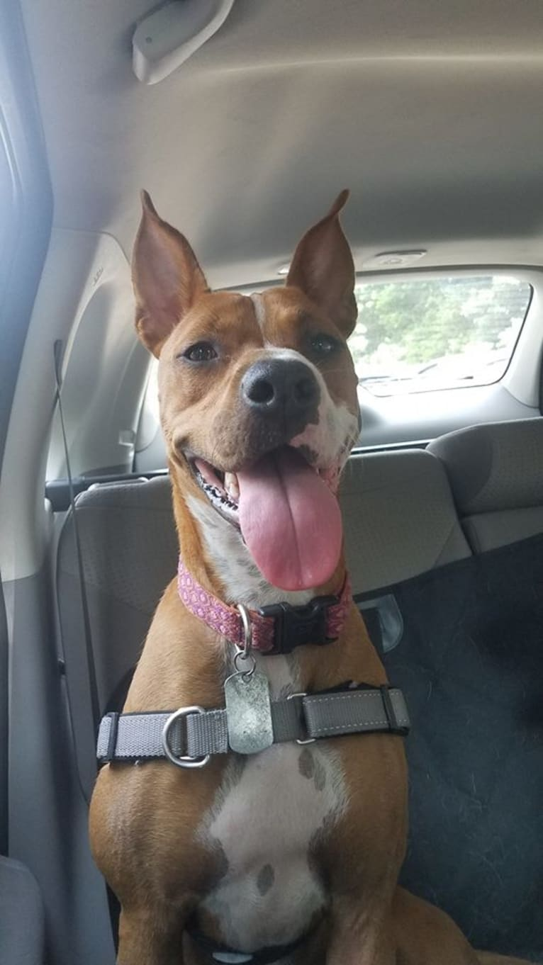 Photo of Lulu, an American Pit Bull Terrier, Boxer, Rottweiler, and Mixed mix in South Carolina, USA