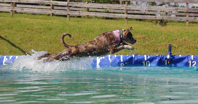Photo of Hammer, a Boston Terrier, Australian Cattle Dog, and Redbone Coonhound mix in Morristown, TN, USA