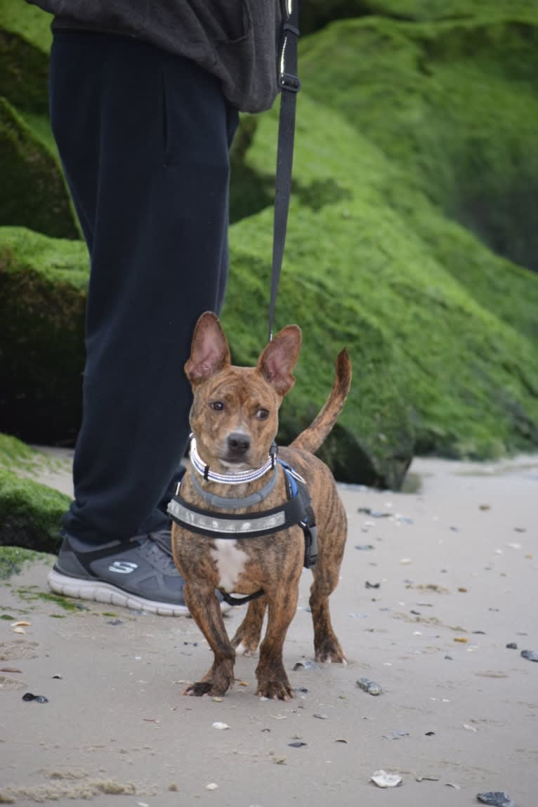 """Photo of Cupboard """"Cubby"""", a Dachshund, American Bulldog, Chihuahua, Boxer, American Staffordshire Terrier, and Mixed mix in West Virginia, USA"""