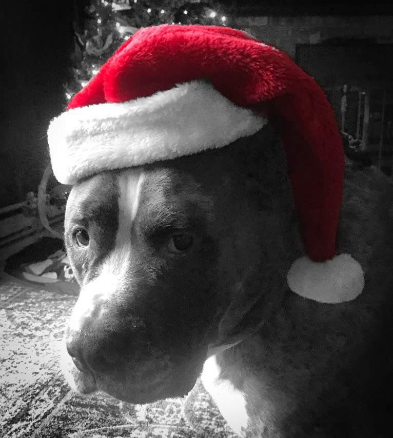 Photo of Kaiju, an American Staffordshire Terrier and American Bulldog mix in New York, USA