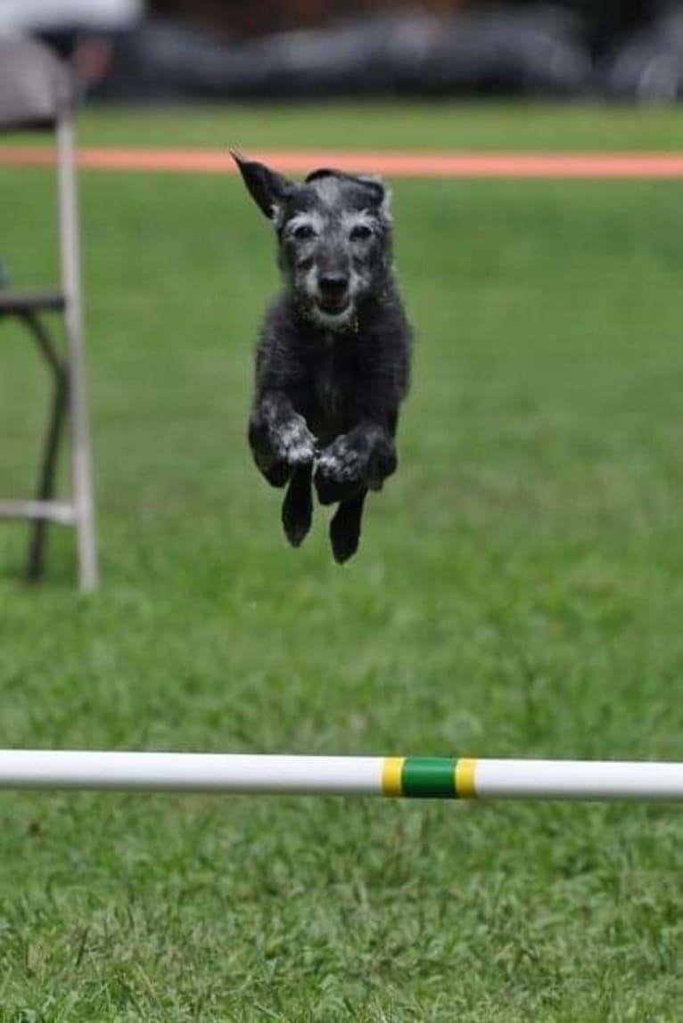 Photo of Miss Gracie Mansion OA OAJ NF, an Italian Greyhound and Poodle (Small) mix in Morris, NY, USA