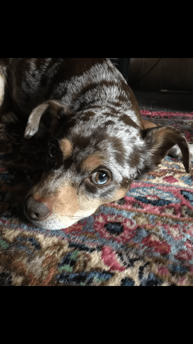 Photo of Rudy, a Chihuahua, Rat Terrier, Australian Cattle Dog, and Mixed mix