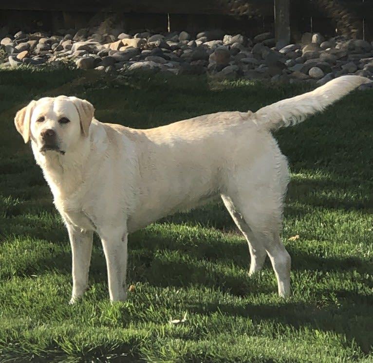 Photo of Brixton Cream of the Carson Valley, a Labrador Retriever  in Fallon, NV, USA