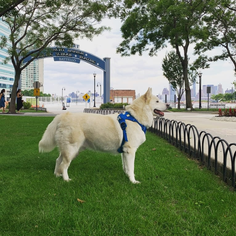 Photo of Kodiak, a Siberian Husky, Alaskan Malamute, Pomeranian, and Pug mix in New York, New York, USA